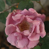 My violet looking rose, which now looks pink